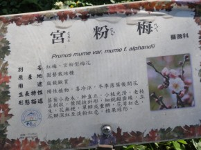 宮粉梅 in Taiwan